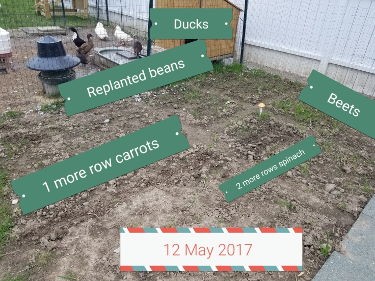 12 May 2017: ducks, replanted beans, 1 more row carrots, 2 more rows spinach