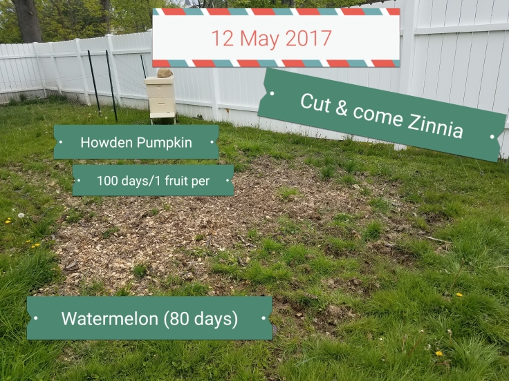 12 May 2017: Cut & come Zinnia, Howden Pumpkins, Watermelon