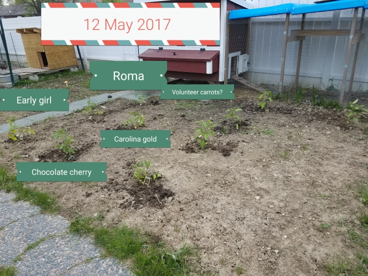 12 May 2017: early girl, Roma, chocolate cherry, Carolina gold, volunteer carrots?